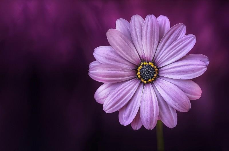 close-up-of-violet-flower-head